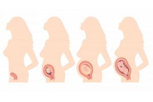 Кога се образува плацентата и как функционира?